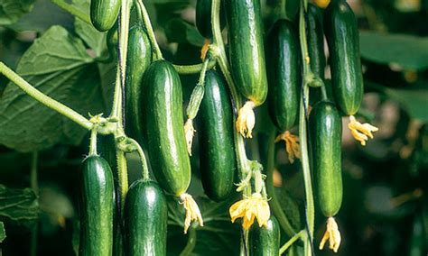 Mini Gurken Pflanzen by Plant Of The Week Cucumber Cucino And Style
