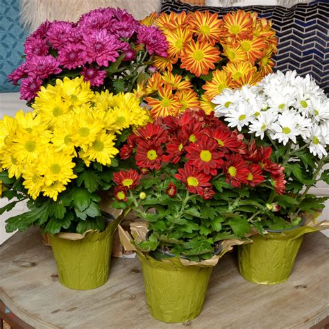 Good Taste - Fun Floral Mums for Fall Mums reign as the ...