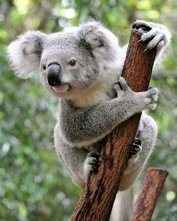 koala facts diet habitat britannica