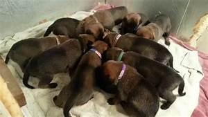 12-19-2015 Belgian Malinois Shepherd puppies 3 weeks old ...