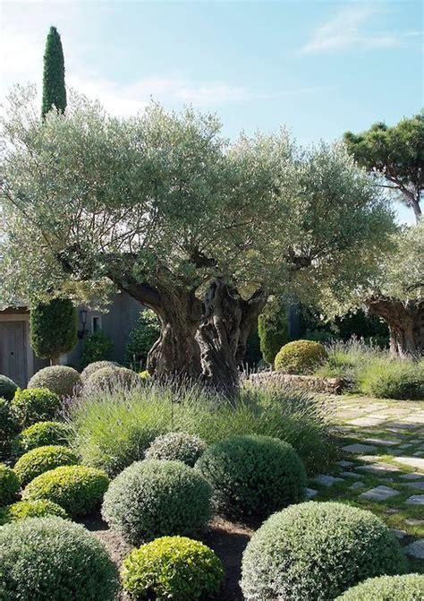 olive tree landscaping designing a mediterranean garden contours landscapes