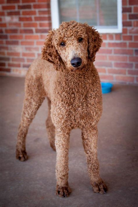 puppies  standard poodle puppies