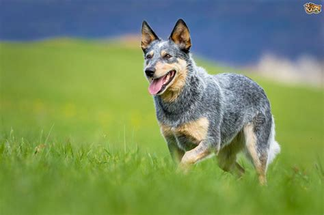 Blue Heeler Shedding In Winter by Heeler Pictures And Photos Australian Cattle