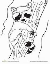 Raccoon Coloring Baby Pages Raccoons Drawing Craft Racoon Animals Outline Template Animal Worksheet Printable Colouring Line Sheets Drawings Education Spring sketch template