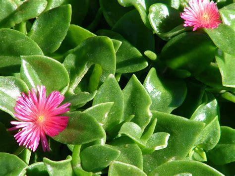 Resultado de imagen de cordifolia
