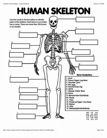 Skeleton Human Coloring Outline Cartoon Template Worksheets