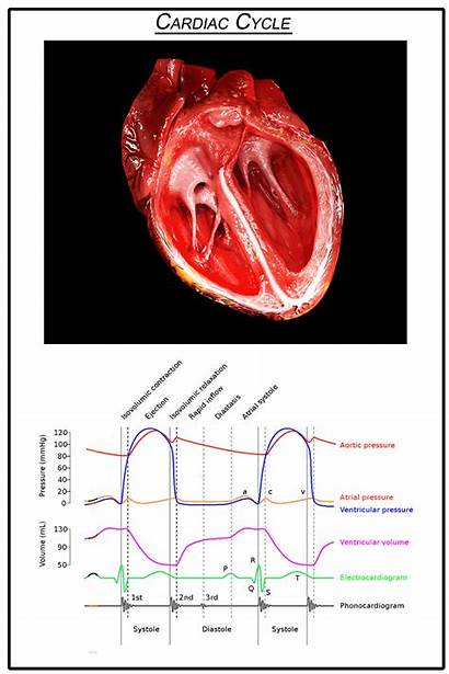 Cardiac Cycle Heart Animated Electrical Diagram System