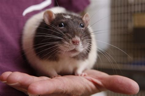 rats as pets ratropolis rats in the news children with rats as pets do better in school