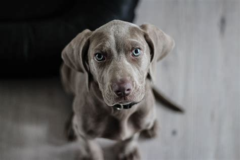 Free Images Puppy Weimaraner Snout Verte Te Dog Breed Animal Portrait Dog Like Mammal