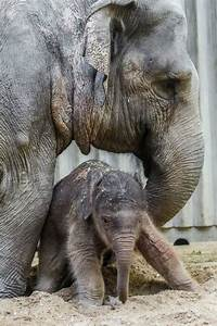 Baby Elephant Birth the First in Prague Zoo's History ...