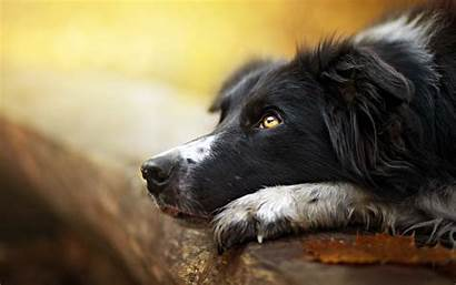 Collie Border Wallpapers Cool