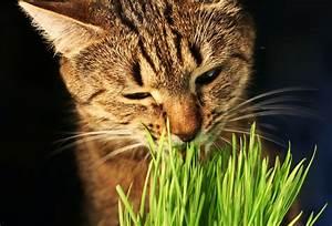 Herbe à Chat : herbes chat d purative et euphorisante bien les ~ Melissatoandfro.com Idées de Décoration