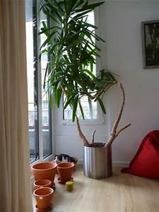 Yucca Palme Braune Blätter : riesige yucca palme zerteilen eine anleitung ~ Lizthompson.info Haus und Dekorationen
