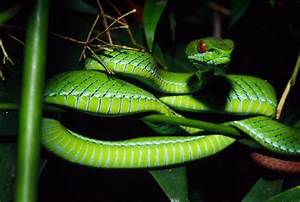 Animal Planet: New Ruby-Eyed Pit Viper Discovered
