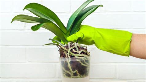 orchideen umtopfen  sechs einfachen schritten