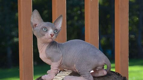 sphynx bambino hairless cat breeds information