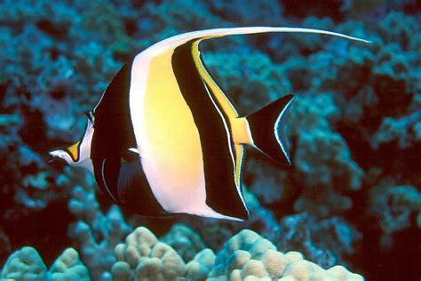 moorish idol zanclus cornutus   small marine fish
