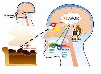 Clipart Taste Stimuli Smell Brain Flavor Drawing