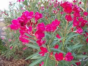 File Pink Oleander Tree Jpg