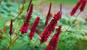 Pflanze Mit Roten Blüten : kn terich staude des jahres 2012 ~ Eleganceandgraceweddings.com Haus und Dekorationen