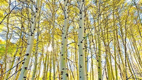 aspen forest canopy trees  sky steens mountain