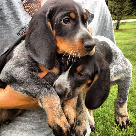 Do Black And Coonhounds Shed by Black And Coon Hound My Breed Breeds Picture