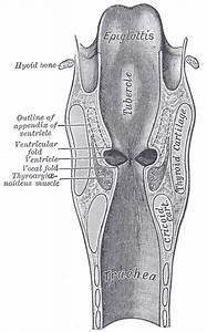 Parts Of The Larynx Diagram