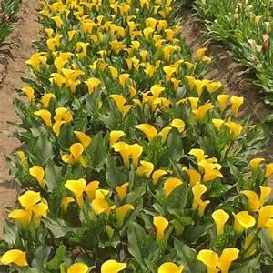 Gelbe Sommerblumen Mehrjährig : zantedeschia 39 fursa 39 elegante gelbe sommerblumen f r garten balkon oder terrasse pflanzzeit ~ Frokenaadalensverden.com Haus und Dekorationen