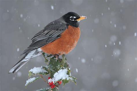 robin bird facts american robin diet behavior habitat