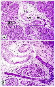 U6700 U9ad8 Ever Ts Of Mammalian Testis