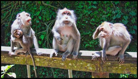 bali monkey mysteries  monkeys mourn  dead bali tours villas