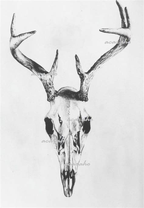 Print Original Drawing Deer Skull Nature Art