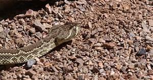 Rattlesnake Season Slithers Into Las Vegas Valley
