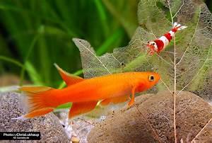 Bilder Mit Fischen : welche fische vertragen sich mit garnelen garnelen blog garnelen onlineshop ~ Frokenaadalensverden.com Haus und Dekorationen