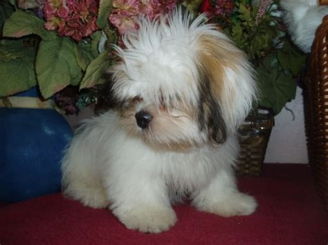 191 best images about lhasa apso on pinterest best dog