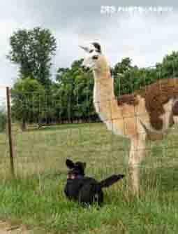 livestock  livestock guardians
