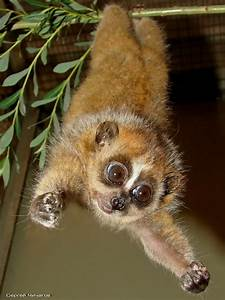 17 Best images about slow loris on Pinterest