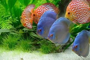 Poisson Aquarium Eau Chaude : top 10 des plus beaux poissons d eau douce maganimal ~ Mglfilm.com Idées de Décoration