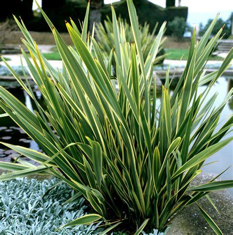 phormium planter et cultiver ooreka