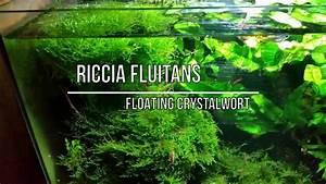 Best Aquarium Live Plants - Riccia Fluitans
