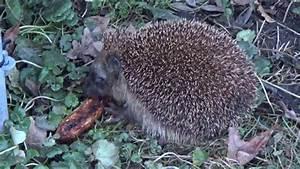 Fressen Igel Mäuse : igel ist am fressen youtube ~ Orissabook.com Haus und Dekorationen
