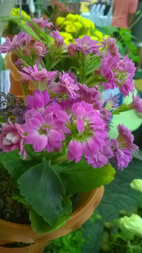 กุหลาบหิน (Kalanchoe Blossfeldiana) (มีรูปภาพ) | ดอกไม้