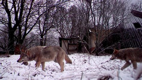These findings might not just apply to wolves. Chernobyl wolves could spread mutant genes | Newshub