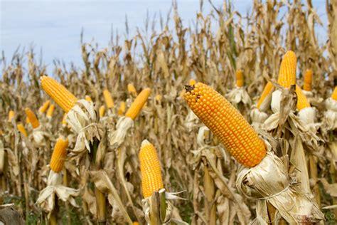 Maize Exports by Country - Keshrinandan Enterprise