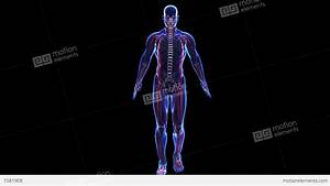 Anatomy Of The Human Body: Skin Skeleton And Muscules ...