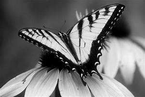 Black And White Butterfly - Cliparts.co