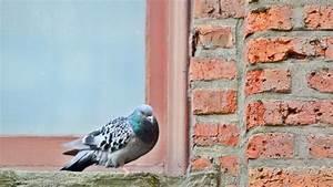 Faire Fuir Les Pigeons : comment faire fuir les pigeons c t maison ~ Melissatoandfro.com Idées de Décoration