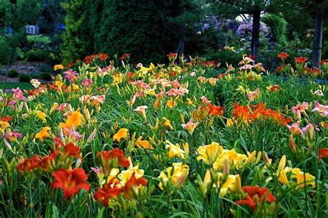 daylilies massachusetts mass plantings of daylilies flowers 18 pinterest