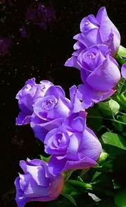 The Most Beautiful Purple Rose In The World | www.pixshark ...