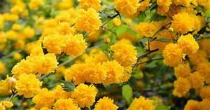 Blühende Sträucher Für Sonnigen Standort : ranunkelstrauch pflanzen und pflegen mein sch ner garten ~ Watch28wear.com Haus und Dekorationen